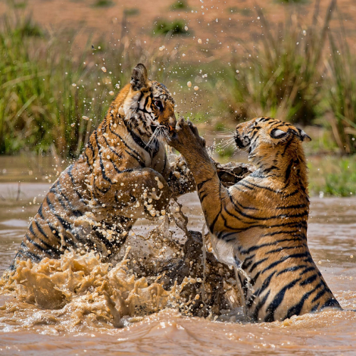 tigers-in-bandhavgarh-national-park