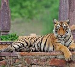 ranthambore-tiger