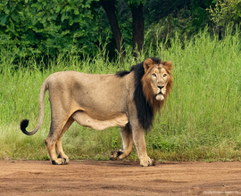 lion-in-devalia-safari