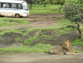 lion-sightseeing-in-devalia-bus-safari