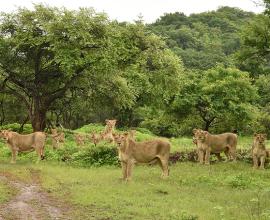 lions-in-gir-nationalpark