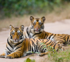 tigers-in-bandhavgarh-tiger-reserve