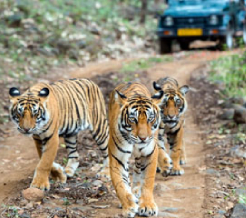 tigers-in-kanha