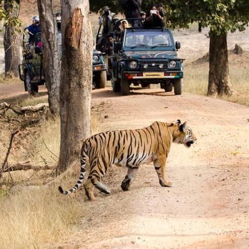 Dudhwa National Park Tiger